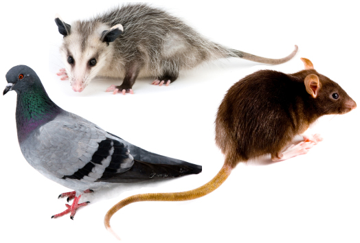 Any wastes from an animal can present harmful health effects to humans and pets, some common types of bacterial, fungus and viral diseases caused from rodent and bird waste include arena virus, hanta virus, lymphocytic choriomenigitis, murine typhus, salmonellosis, histoplasmosis, cryptococcosis and psittacosis.